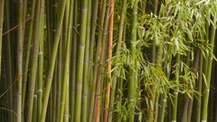 Bamboo Grove One can see the trunks and bamboo leaves Stock Footage
