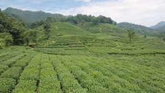 Low drone shot over green tea field plantations in Hangzhou, China Stock Footage
