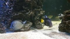 Red Sea sailfin tang - Zebrasoma desjardinii Stock Footage