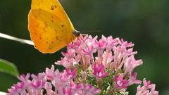 4K Active Butterfly flying pollinating feeding flower pollen in nature Stock Footage