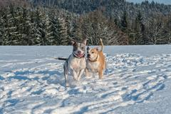 Running staffordshire bull terriers in a snow Stock Photos