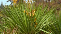 Yucca bush with dried yellow flowers Stock Footage
