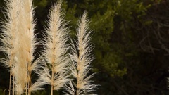 Cortaderia selloana, is flowering plant native to southern South America Stock Footage
