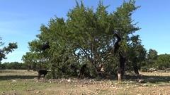 Goats climb argan trees in Morocco Stock Footage