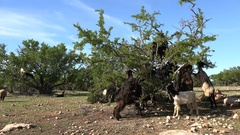 Groups of hungry goats eat leaves from argan tree in Morocco Stock Footage