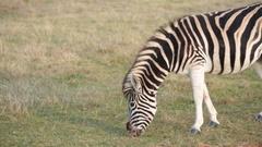 African plains zebra grazing on green grass Stock Footage
