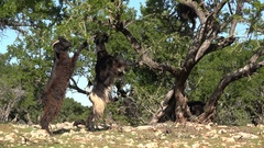Goats reach for leaves of an argan tree in the countryside of Morocco Stock Footage