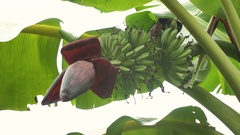 Fruits of bananas on a banana tree Stock Footage
