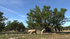 Goats climb argan trees in countryside Morocco Stock Footage