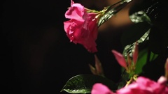 Pink Roses at Night Stock Footage