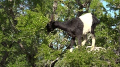 Goat eats argan nuts and leaves in tree, rural Morocco Stock Footage