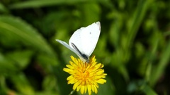 Butterfly collecting nectar from a dandelion Stock Footage