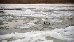Brave duck, icy river Stock Footage