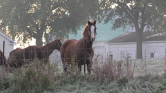 Work horses at rest, Amish farm, Indiana USA Stock Footage