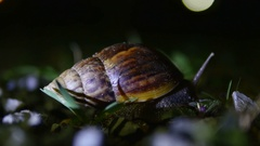 Large snail crawling at night.Giant clam Stock Footage