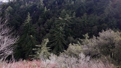 DEEP MOUNTAIN CANYON WITH THICK PONDEROSA PINES.  IN 4K. Stock Footage