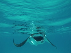A great Manta ray is swimming directly upon me Stock Footage