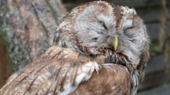 The tawny owl or brown owl (Strix aluco) Stock Footage