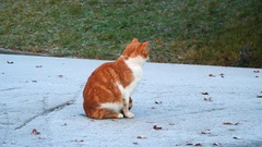 Red cat sitting on the road and looking at the camera Stock Footage