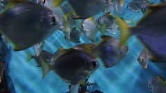 Big group of coral fish Stock Footage