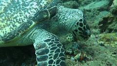 Hawksbill sea turtle current on coral reef island Bali Stock Footage