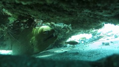 Giant moray hiding amongst coral reef on the ocean floor, Bali Stock Footage