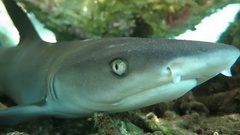 Black tip reef sharks swimming underwater Stock Footage