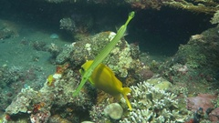 Trumpetfish Aulostomus chinensis swimming underwater in the Bali Sea Stock Footage