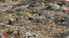 Pigs look for food on garbage dump, woman collects trash, India, poverty in Asia Stock Footage