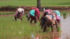 India Asia agriculture, women plant rice in wet muddy paddy fields Stock Footage