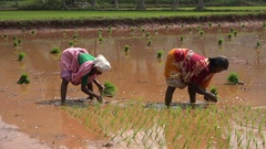 Two women planting rice bundles for the new agricultural season in India Stock Footage