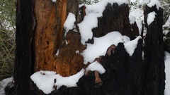 OLD PINE STUMP COVERED IN SNOW.  SHOT IN 4K. Stock Footage
