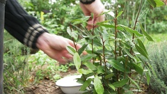 Gardener harvesting bay leaves (Laurus nobilis) in a herb garden. Stock Footage