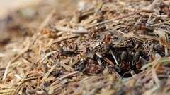 Ants nest. Fire ants crawling on the ant hill in the woods. Stock Footage
