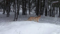 Big brown dog frolic and running around in the snowy winter forest Stock Footage