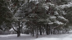 Forest where it is snowing and covers the branches of trees and pines Stock Footage