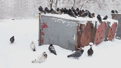 Lot of frozen pigeons sitting on a snowy trash box Stock Footage
