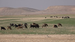 Goats of nomadic family walk across the sparsely vegetated deserts in Jordan Stock Footage
