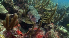 Underwater shot of pufferfish swimming over coral reef in caribbean Stock Footage