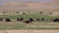 Livestock of nomadic family in Jordanian desert in Middle East Stock Footage