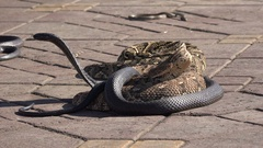 Cobras and other snakes for tourist entertainment at Djemaa el Fna in Marrakesh Stock Footage
