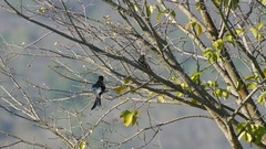 Black drongo relaxing Stock Footage