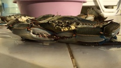 Blue Crab Menaces by Pincers and Blows Bubbles. Stock Footage
