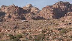 Goats look for vegetation in stark desert mountain landscape Middle East Stock Footage