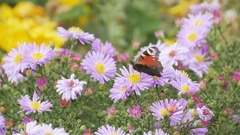 Butterfly and fly sitting on flowers Arkistovideo
