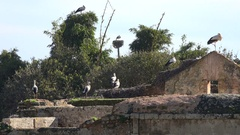 Colony of storks rests at the Chellah ruins in Rabat, Morocco Stock Footage