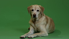 Dog in front of Green screen - Labrador Retriever Arkistovideo