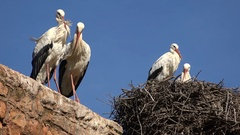 Stork couples flirting in a nest, bird species Morocco Africa Stock Footage