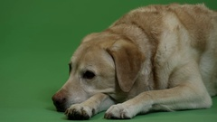 Dog - Labrador - peaceful in front of Green Screen Arkistovideo