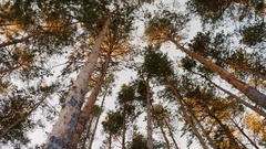 Plumb pine forest. Shooting wide angle from the bottom up to the camera by Stock Footage